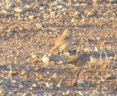 tom_2014 posted a photo:  A poor-quality shot of a couple of birds seen in steppe habitat in Eastern Morocco. I think they are probably African Desert Warblers (Sylvia deserti) but im not entirely sure. Any help greatly appreciated!