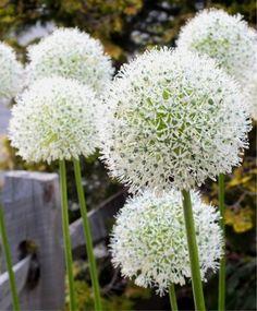 Allium stipitatum White Giant - Allium - Flower Bulbs Index