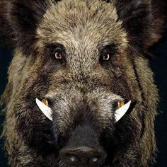Boar. We like the serious expression and framing of this image. The colours would fit in well with the chalets with some of the other colours that you work into your paintings.