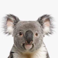 Koala kop leuk voor meisjeskamer of kinderkamer.