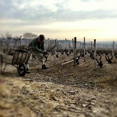 Beautiful morning in Beaujolais, last days of pruning in the vineyard for my Dad. March 2012.