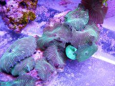 Mushroom GREEN STRIPED (Rhodactis inchoata)