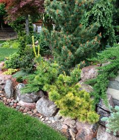 Dan's Gardens shows how well these conifers compliment each other.