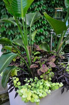 "Garden Design - 2 ""Dream Team's"" Portland Garden : Strelitzia nicolai (giant bird of paradise), Solenostemon scutellarioides 'Fishnet Stockings' (coleus), Ipomoea batatus Illusion® 'Midnight Lace' (sweet potato vine), Helichrysum petiolare 'Lemon Licorice' (lemon licorice plant)."