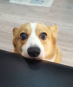 This is the look I get from my Boston terrier EVERY time I eat! Even if he has a full bowl Of food! Corgi Funny, Corgi Dog, Funny Dogs, Dog Cat, Animals And Pets, Baby Animals, Cute Dogs And Puppies, Cute Creatures, Cute Funny Animals