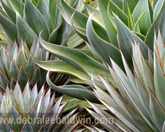 Agave 'Blue Gloe' and Agave 'Blue Flame' at Succulent Gardens nursery near San Francisco. Photo by Debra Lee Baldwin For more photos of succulents in landscapes, go to the Photos page of my website.