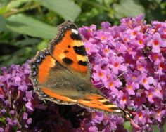 Ecological gardening means many insect, bees and butterflies in the garden. Great to see this every year.