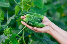 Grădinărit Archives - Page 3 of 39 - Retete Usoare Cucumber, Home And Garden, Ale, Vegetables, Food, Gardening, Growing Up, Plant Pots, Plant
