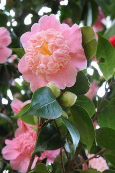 ** Pink Camellia japonica 'Little Michael' http://ibeebz.com