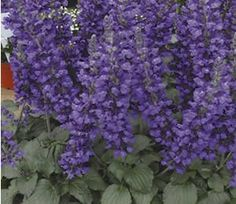 The Dwarf Salvia 'Mystic Spires', Salvia 'Balsalmisp', has dark green foliage that covers this compact, well-branched plant.  A free-flowering Salvia, it will be covered with true blue flowers all season long!   'Mystic Spires' has a very compact, well branched foliage and produces long stalks of dark blue flowers, which continue to reward in abundance when deadheaded.  It looks very much like Indigo Spires without the floppy stems and the curly flower spike.  Plant am...