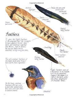 How to draw and colour feathers from: Creating Textures in Pen & Ink with Watercolor: Claudia Nice