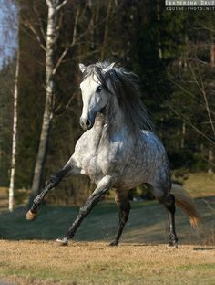 Dapple gray horse running - Equine Photography by Ekaterina Druz