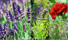 Plants That Deter Snakes Away | Plants-That-Repel-Mosquitoes and pests