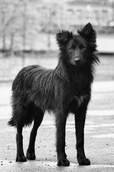 Really beautiful dog. This is, like, exactly what I would want in a dog. I would probably name him Sirius