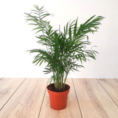 17 Best Indoor Trees (and Tropical Plants) to Grow in Your Living Room – House Plants Big Plants, Little Plants, Indoor Plants, Best Indoor Trees, Popular House Plants, Birds Of Paradise Plant, Umbrella Tree, Plant Aesthetic, Iron Plant