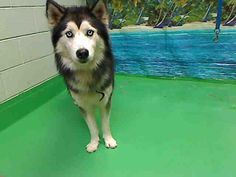 www.PetHarbor.com pet:MRVL.A430163  ID#A430163 (Moreno Valley, CA) Male, black and white Siberian Husky mix. The shelter thinks I am about 2 years. I have been at the shelter since Nov 26, 2013 and I may be available for adoption on Dec 06, 2013 at 1:02PM.   http://www.pethar...See More — with Alicja Pul.