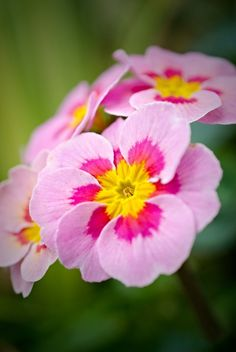 Primrose - one of the birth month flowers for February (could use to represent one of the twins)