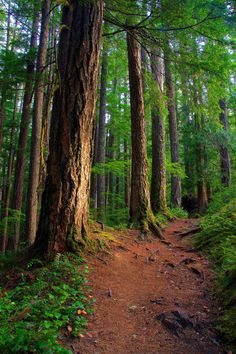 Douglas Fir Tree Trunks in Morning Light at Ohanapecosh, Mount Rainier National Park, Washington
