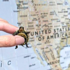 Baby turtle @peonytheturtle Baby Turtles, New Friends, Peonies, Rings For Men, Country, Instagram, Men Rings, Rural Area, Country Music