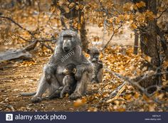 Chacma baboon in Kruger national park, South Africa ; Specie Papio ursinus family of Cercopithecidae Stock Photo