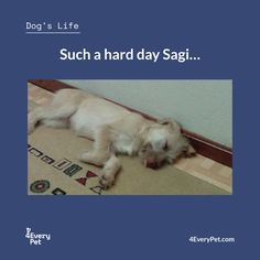 Sagi has a very difficult life. Looks like he has been working all day…;)  #4EveryPet #DogLife #Sagi