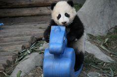 baby panda in Chengdu, China