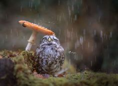 Poldi, a 1 year old little owl (Athens noctura). He's the pet of Tanja Brandt, the photographer. I've yet to see a photo of a little owl who doesn't look adorable. They're the cutest owls . Little Owl, Little Pets, Animal Photography, Nature Photography, Umbrella Photography, Autumn Animals, Photoshop, Tier Fotos, Mundo Animal