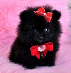 Tiny Teacup Black Pomeranian Princess