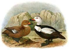 http://2.bp.blogspot.com/_XSpKYeV3jlU/TOcFZoW-qWI/AAAAAAAADD4/fIGHyeWvqmo/s1600/Labrador-Duck.jpg