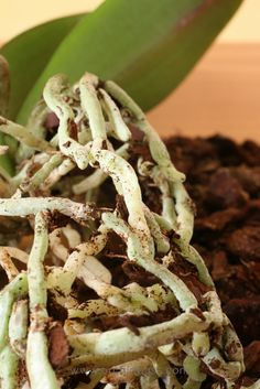 How to RePot an Orchid: A Beginners Guide - Orchid Bliss
