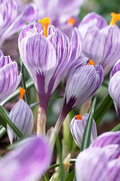 Crocus large flowering 'Pickwick' Crocus
