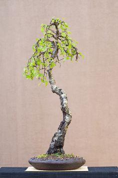 JP: Silver Birch - Betula Pendula
