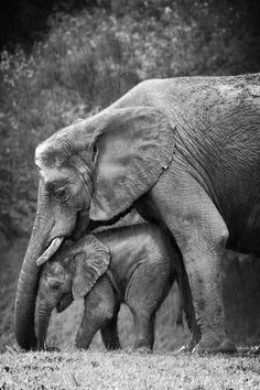 Mama elephant shielding her baby from the rain // Elefantes Elephant Day, Elephant Love, The Animals, Baby Animals, Baby Elephants, Elephants Photos, Safari Animals, Wild Animals, Beautiful Creatures