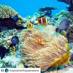 . .  お魚になりたいなぁ . . #Repost @tropicalnorthqueensland with @repostapp.  Searching for #Nemo with @goldie_berlin & @oceansafaricapetrib on the #GreatBarrierReef  #exploreTNQ by blue.dolphin8 http://ift.tt/1UokkV2