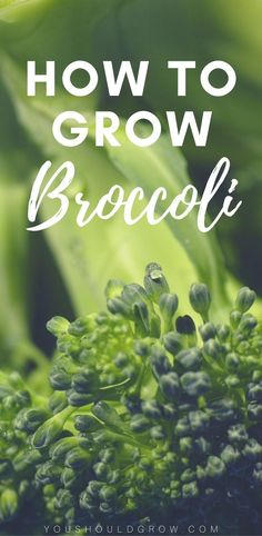 If you've had trouble growing broccoli before, read these tips for getting a tasty crop. Grow your own delicious broccoli in your garden.