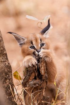 Africa | Young caracal. Kruger National Park, South Africa | Anthony Ponzo