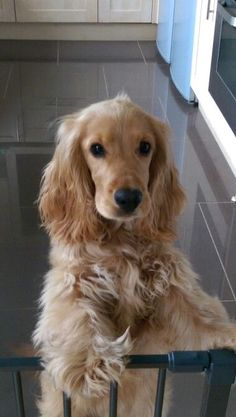 A list of the cutest golden cocker spaniel pictures. Are you in the mood to see some adorable photos of cocker spaniels? This is a list of some of the cutest golden cocker spaniel photos. Perro Cocker Spaniel, Cockerspaniel, Cute Dogs And Puppies, Doggies, Retriever Puppy, Beautiful Dogs, Dog Life, Dog Breeds, Dog Lovers