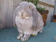 Giant French Lop Bunny