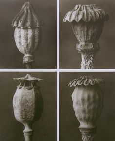 """Art Forms in Nature"" (1928) by Karl Blossfeldt (1865 - 1932), a German professor of design in Berlin."