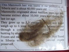 A very good  clump of Woolly Mammoth hair found in the permafrost of Siberia. Dated to approximately 40,000 years old. These samples are of very good quality and quantity. Similar samples offered on the market have half the quantity for the same price. These are a certain talking point and very affordable for the novice collector who does not have a large budget yet wants an authentic specimen. VISIT: www.relicsandrocks.com.au