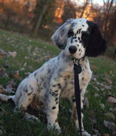 Dalmatian cross Cocker Spaniel