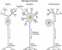 Aula de Anatomia | Tecido Nervoso