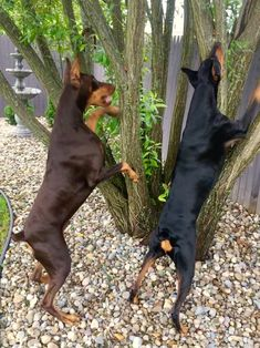 The Doberman Pinscher is among the most popular breed of dogs in the world. Known for its intelligence and loyalty, the Pinscher is both a police- favorite Blue Doberman, Doberman Mix, Doberman Pinscher Puppy, Best Dog Names, Best Dogs, I Love Dogs, Cute Dogs, Doberman Training, Pitbull