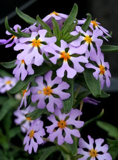 "Zaluzianskya villosa ""Southern Lilac Drumsticks"". Strongly scented like vanilla and jasmine. Blooms at night. Start in pots, need high summer heat and full sun, allow to dry out between waterings.°°"