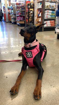 Doberman Pinscher Dog, Doberman Dogs, Dobermans, Cute Dogs And Puppies, Baby Puppies, Doggies, Chien Dobermann, Black Doberman, Scary Dogs