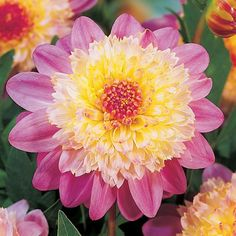 (Dahlia - Powder-Puff - Lambada) well this is beautiful Beautiful Flowers Garden, Exotic Flowers, Pretty Flowers, Begonia, Blossom Garden, Herbaceous Perennials, Pink Perennials, Spring Plants, Dahlia Flower