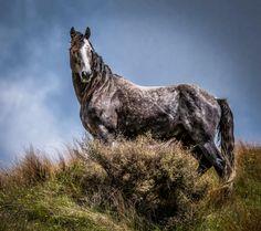 Photograph Wild Horse - New Zealand - Kaimanawa Stallion by Kimber Brown on 500px