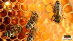 Report Shows Importance of Honeybees to Natural Habitats - Manuka Honey USA How To Kill Bees, Natural Grocers, Bee Friendly, Food System, Beneficial Insects, Manuka Honey, Environmental Health, Save The Bees, Organic Farming