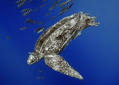 The leatherback sea turtle (Dermochelys coriacea), sometimes called the lute turtle, is the largest of all living sea turtles and the fourth largest modern reptile behind three crocodilians. It can easily be differentiated from other modern sea turtles by its lack of a bony shell. Instead, its carapace is covered by skin and oily flesh. Leatherbacks have been viewed as unique among reptiles for their ability to maintain high body temperatures using metabolically generated heat, or endothermy...