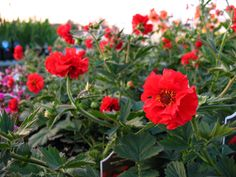 Geum flora plena 'Blazing Sunset' (Avens)